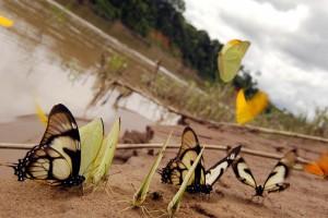 rainforest-butterflies