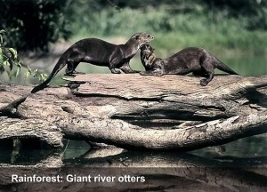 faceperu-giant-river-otters-opt